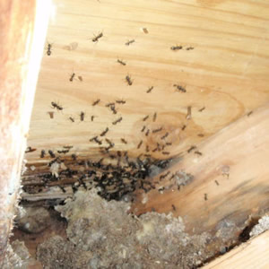 Carpenter Ants nest location identification control removal extermination services