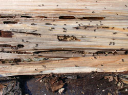 carpenter ants nest control removal by Professional pest control products