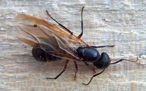 Carpenter Ants Identification & Appearance to help with correct ant control service