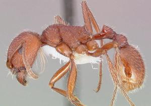 Harvester ant sample