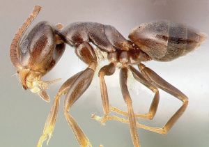 Odorous ant sample