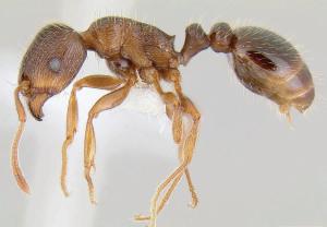 Pavement ant image