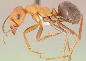 Thatch ant sample