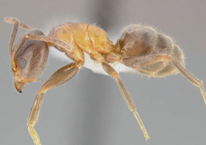 Velvety ants sample