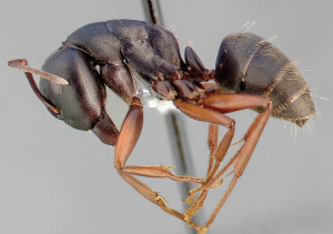 carpenter ant sample
