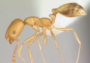 pharaoh ant sample