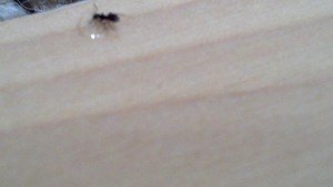 Little tiny small black sugar ants in your house