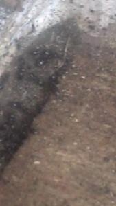 Tiny small little black sugar ants control extermination
